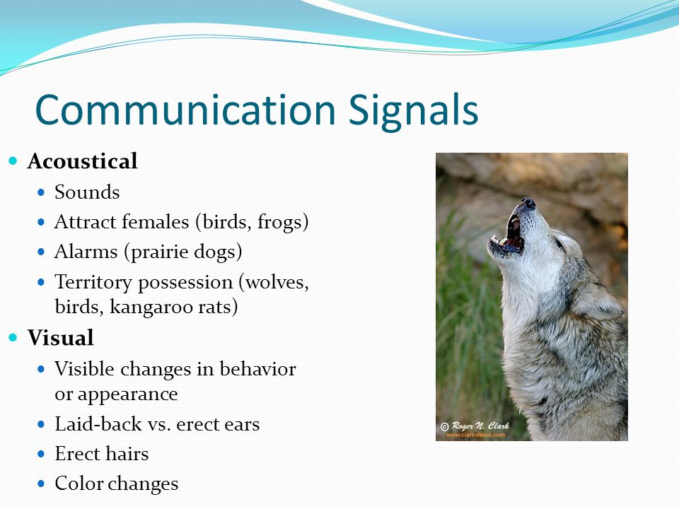 Communication Signals Acoustical Sounds Attract females (birds, frogs) Alarms (prairie dogs) Territory possession (wolves, birds, kangaroo rats) Visua