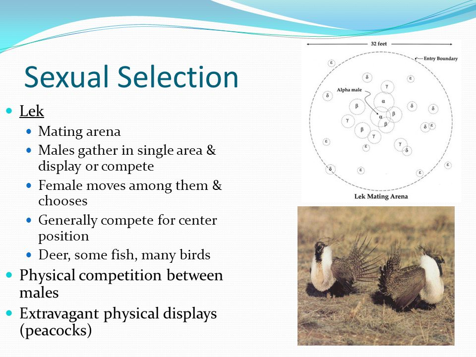 Sexual Selection Lek Mating arena Males gather in single area & display or compete Female moves among them & chooses Generally compete for center posi