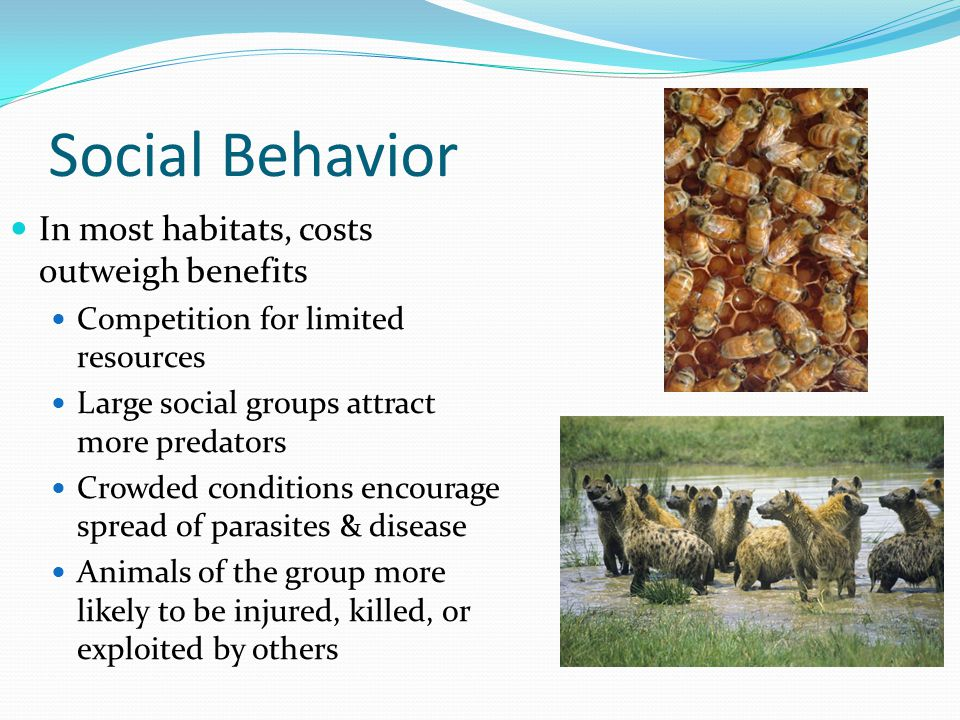 Social Behavior In most habitats, costs outweigh benefits Competition for limited resources Large social groups attract more predators Crowded conditions encourage spread of parasites & disease Animals of the group more likely to be injured, killed, or exploited by others