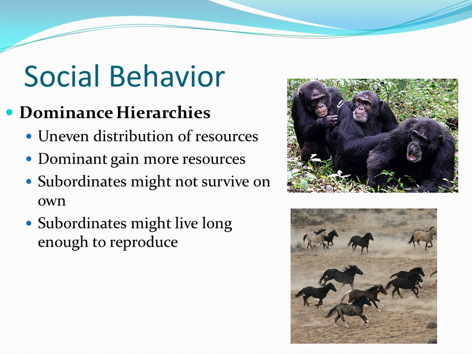Social Behavior Dominance Hierarchies Uneven distribution of resources Dominant gain more resources Subordinates might not survive on own Subordinates