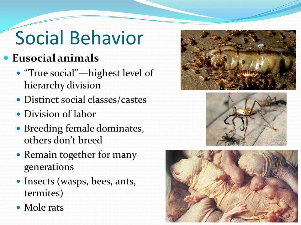 "Social Behavior Eusocial animals ""True social""—highest level of hierarchy division Distinct social classes/castes Division of labor Breeding female do"