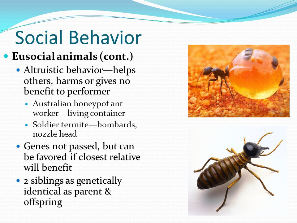 Social Behavior Eusocial animals (cont.) Altruistic behavior—helps others, harms or gives no benefit to performer Australian honeypot ant worker—livin