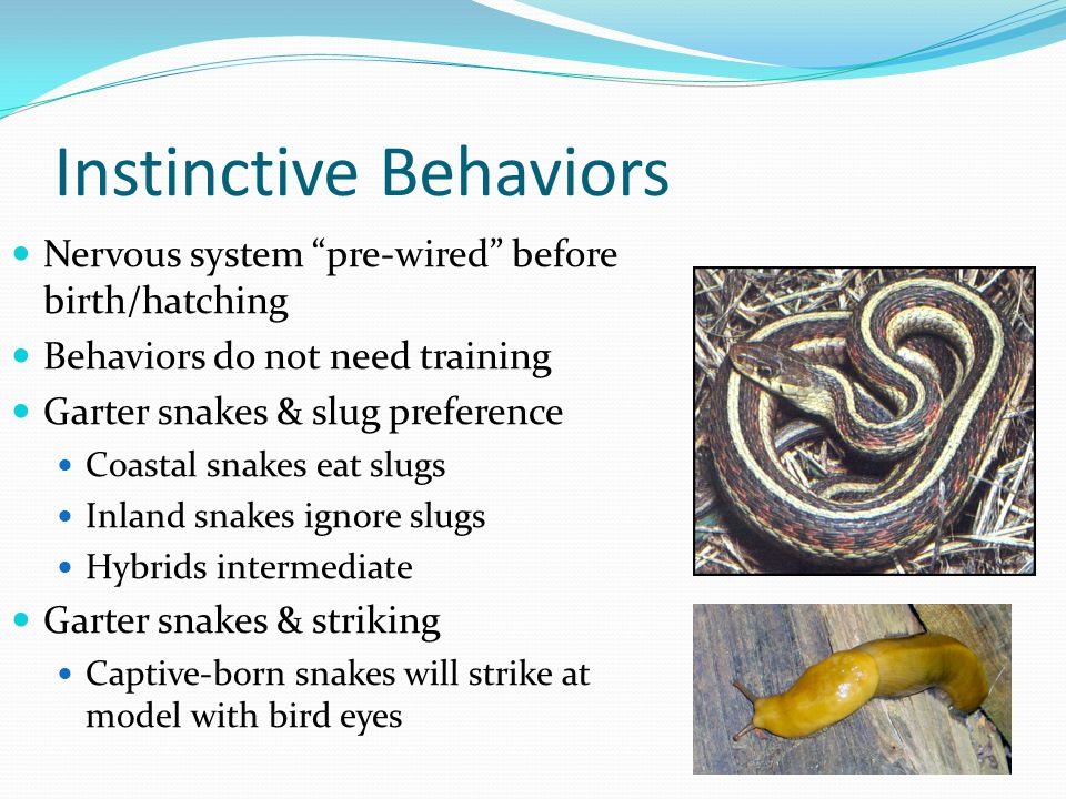 Instinctive Behaviors Nervous system pre-wired before birth/hatching Behaviors do not need training Garter snakes & slug preference Coastal snakes eat slugs Inland snakes ignore slugs Hybrids intermediate Garter snakes & striking Captive-born snakes will strike at model with bird eyes