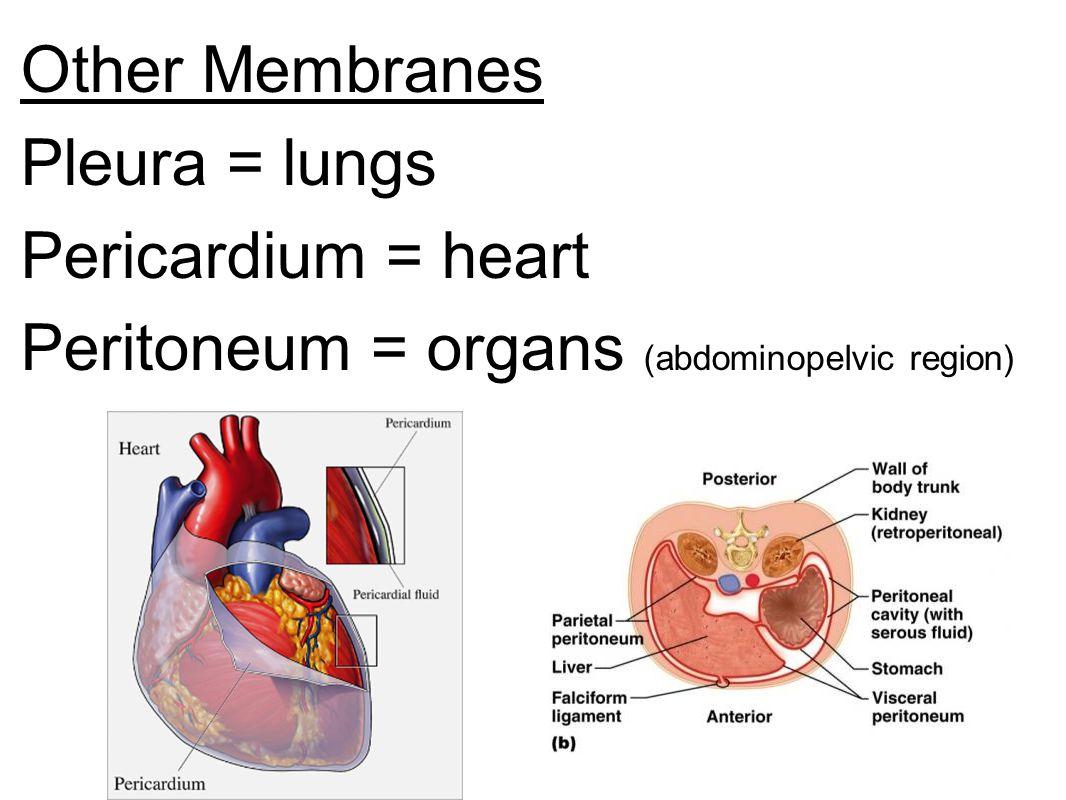Other Membranes Pleura = lungs Pericardium = heart Peritoneum = organs (abdominopelvic region)