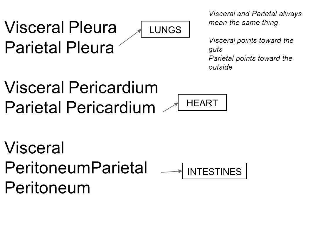 Visceral Pleura Parietal Pleura Visceral Pericardium Parietal Pericardium Visceral PeritoneumParietal Peritoneum Visceral and Parietal always mean the
