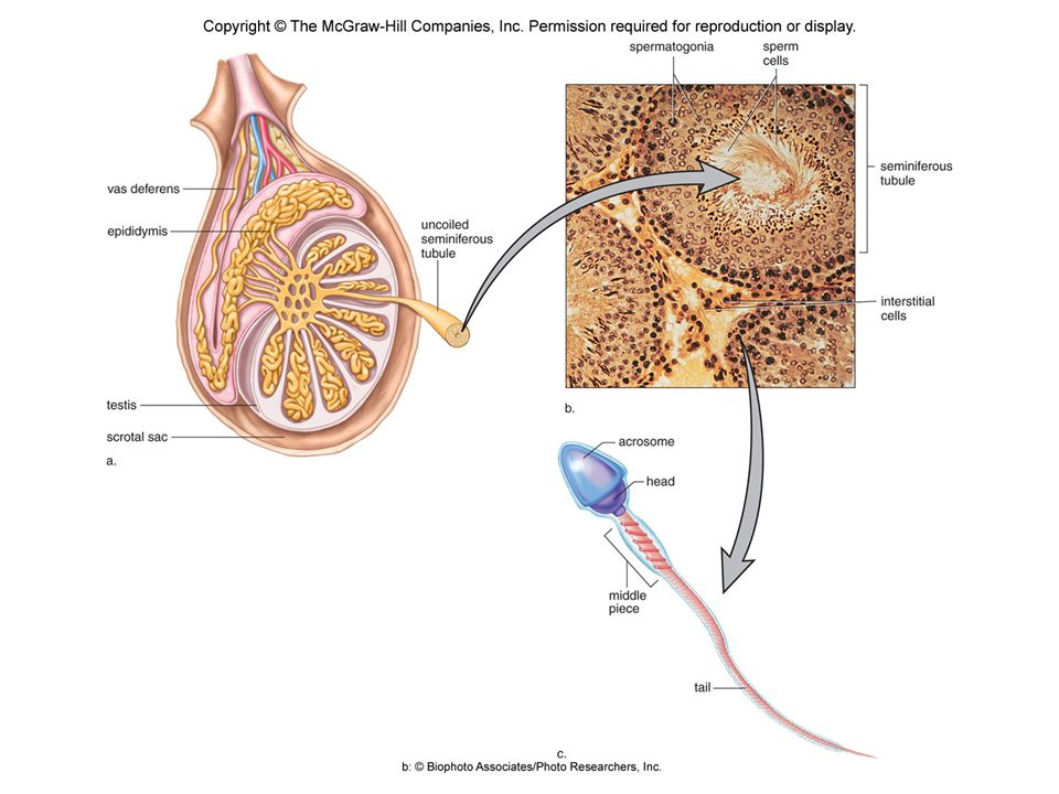 Male Reproductive System Negative Feedback Mechanisms  Maintains testosterone production at a fairly constant level  Maintains the continuous production of sperm Testosterone  Necessary for the normal development and function of the male sex organs  Secondary sex characteristics  Hair growth  Activity of cutaneous glands  Deeper pitch to the voice  Muscle strength