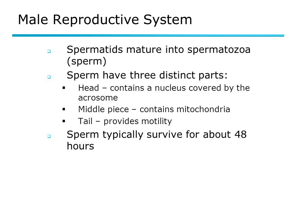 Female Reproductive System Post-ovulation events  Emptied follicle becomes the corpus luteum (luteal phase)  Secretes progesterone and some estrogen  As levels of progesterone increase, LH levels decline and the corpus luteum begins to degenerate  Secretory phase begins in the uterus  Endometrium thickens  Uterine glands mature and produce a thick secretion  If fertilization and implantation occur, human chorionic gonadotropin (HCG) is released by the developing placenta