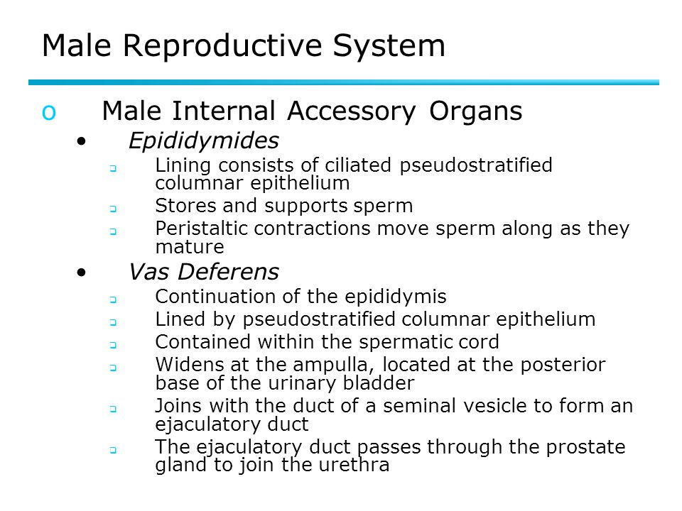 Female Reproductive System Oogenesis  Production of an ovum  Includes the process of meiosis  A primary oocyte undergoes meiosis I to become a secondary oocyte  A secondary oocyte undergoes meiosis II only if it is fertilized by a sperm cell  Begins within a follicle  Primary follicle  secondary follicle  vesicular (Graafian) follicle  Follicular fluid surrounds the oocyte  Primary oocyte divides and produces two cells  Secondary oocyte  Polar body  Ovulation – vesicular follicle bursts and releases the secondary follicle