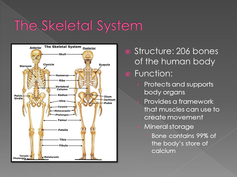  Structure: 206 bones of the human body  Function: › Protects and supports body organs › Provides a framework that muscles can use to create movement › Mineral storage  Bone contains 99% of the body's store of calcium
