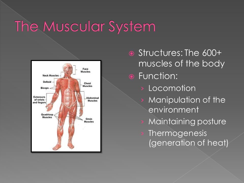  Structures: The 600+ muscles of the body  Function: › Locomotion › Manipulation of the environment › Maintaining posture › Thermogenesis (generation of heat)