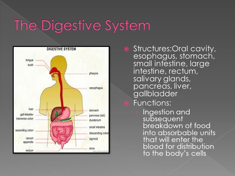  Structures:Oral cavity, esophagus, stomach, small intestine, large intestine, rectum, salivary glands, pancreas, liver, gallbladder  Functions: › Ingestion and subsequent breakdown of food into absorbable units that will enter the blood for distribution to the body's cells
