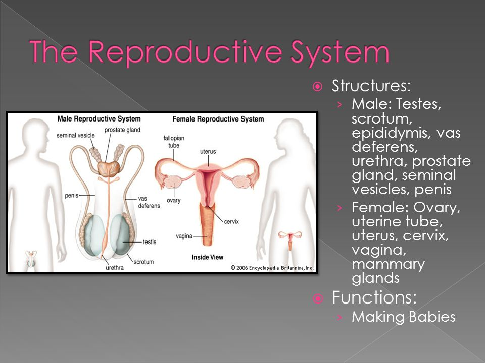 Structures: › Male: Testes, scrotum, epididymis, vas deferens, urethra, prostate gland, seminal vesicles, penis › Female: Ovary, uterine tube, uterus, cervix, vagina, mammary glands  Functions: › Making Babies