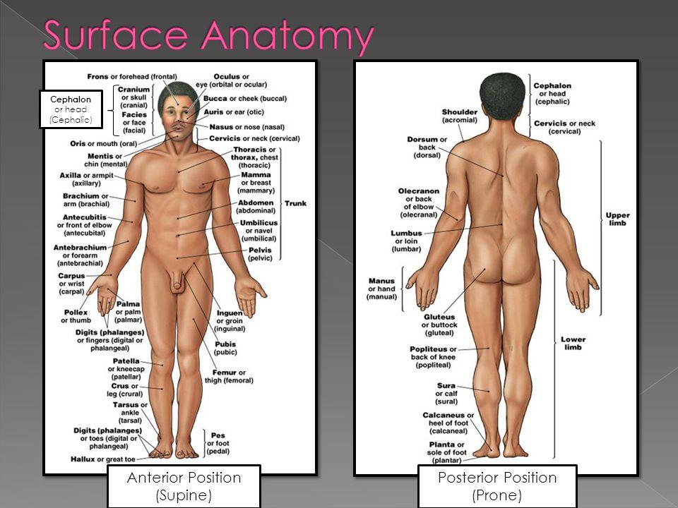 Anterior Position (Supine) Posterior Position (Prone) Cephalon or head (Cephalic)