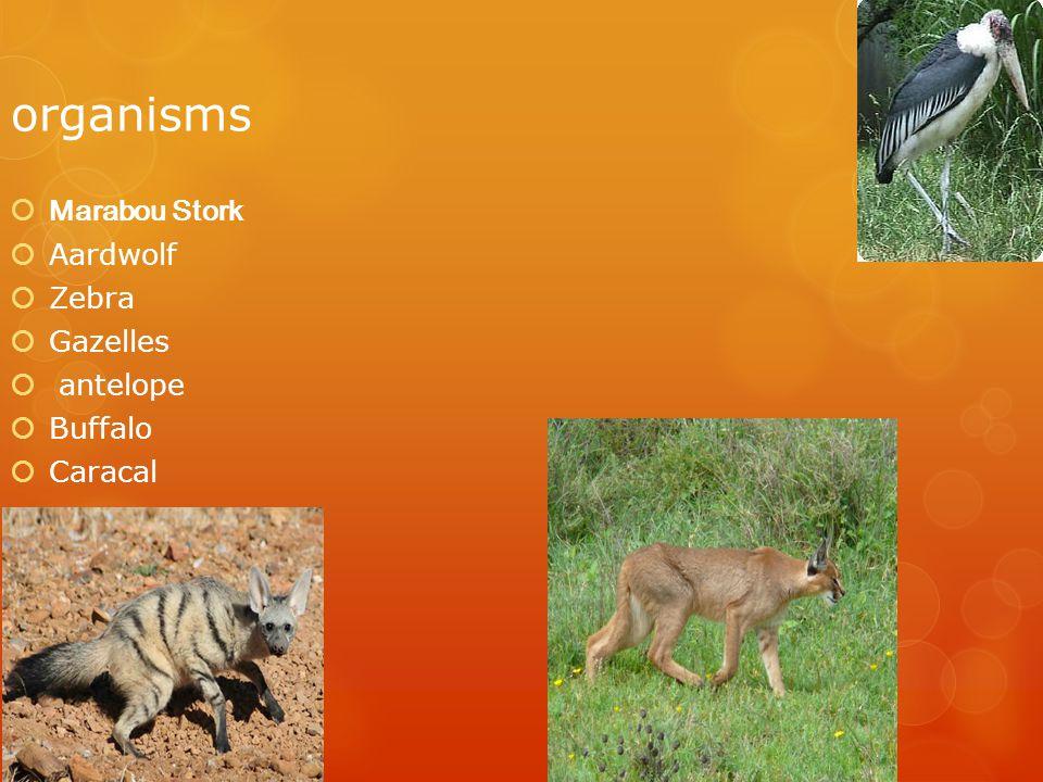 organisms  Marabou Stork  Aardwolf  Zebra  Gazelles  antelope  Buffalo  Caracal