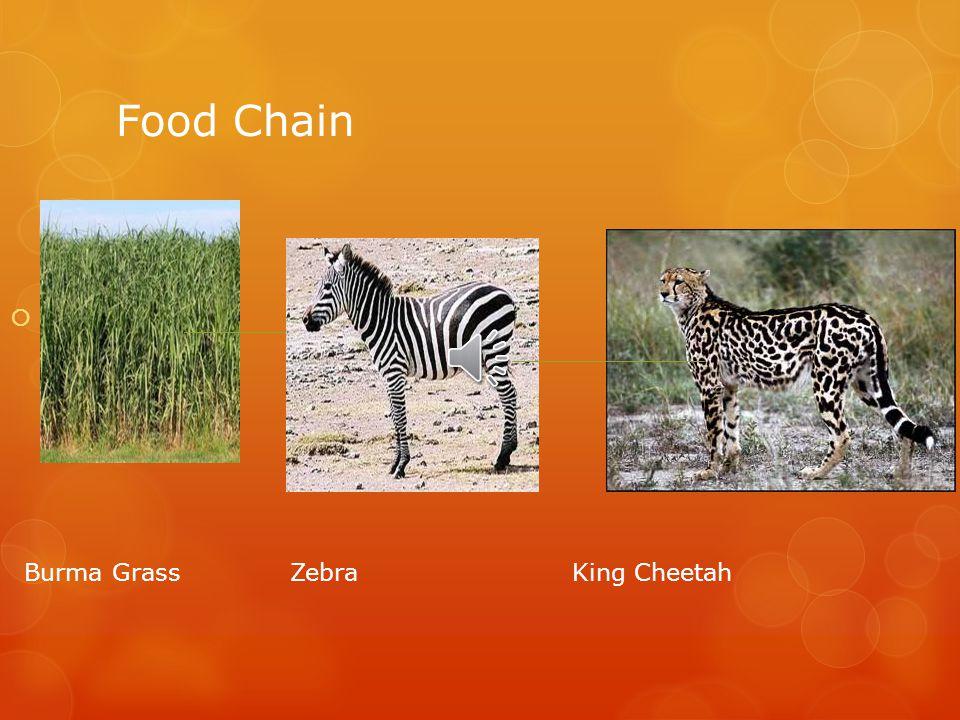 Food Chain  Burma Grass Zebra King Cheetah