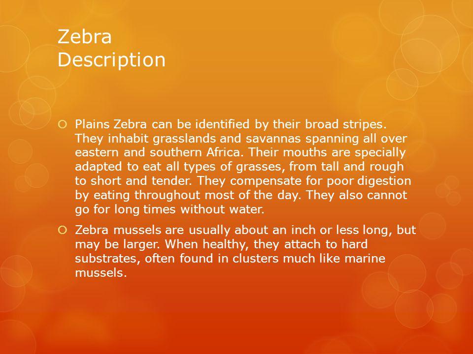 Zebra Description  Plains Zebra can be identified by their broad stripes.