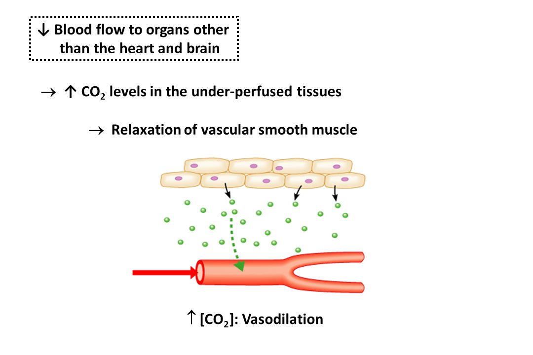 ↓ Blood flow to organs other than the heart and brain  ↑ CO 2 levels in the under-perfused tissues  Relaxation of vascular smooth muscle  [CO 2 ]: Vasodilation