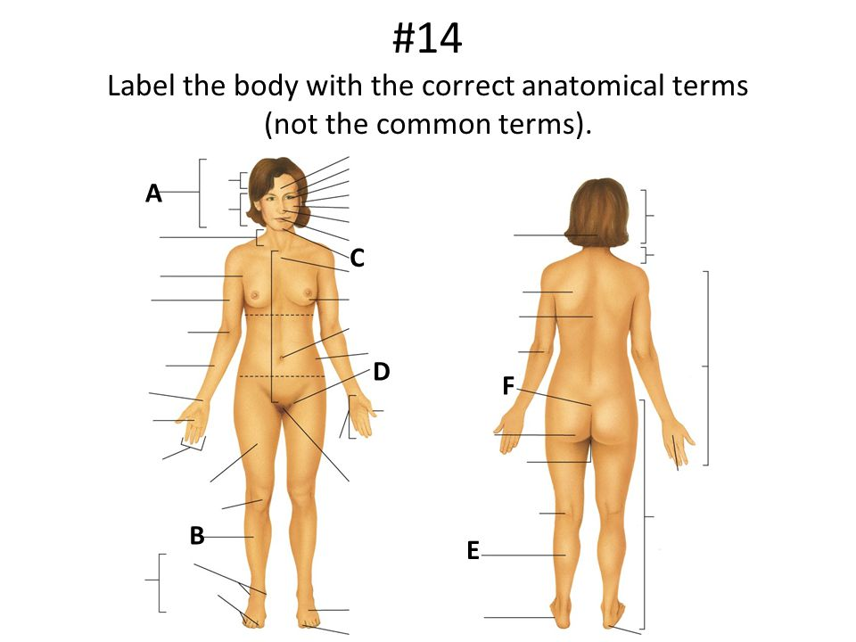 #14 Label the body with the correct anatomical terms (not the common terms). A B C D E F