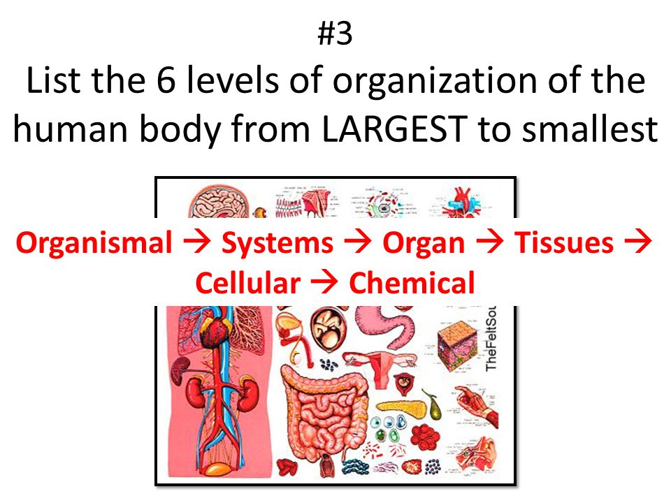 #3 List the 6 levels of organization of the human body from LARGEST to smallest Organismal  Systems  Organ  Tissues  Cellular  Chemical