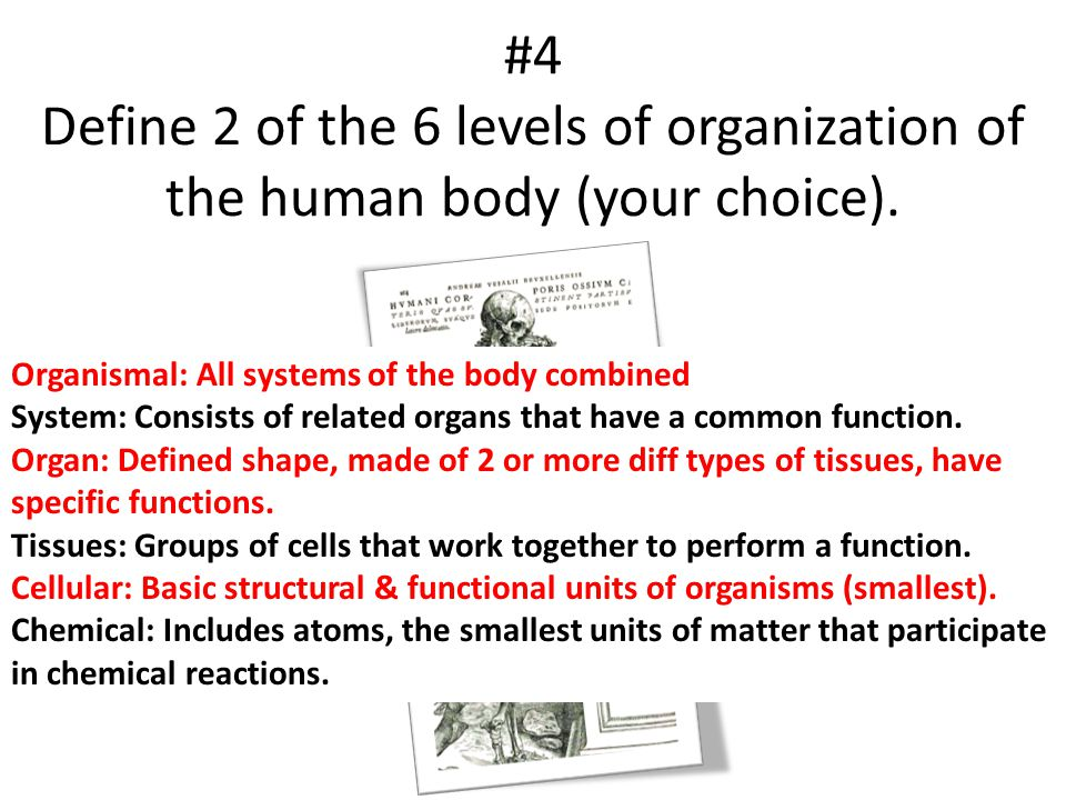 #4 Define 2 of the 6 levels of organization of the human body (your choice). Organismal: All systems of the body combined System: Consists of related