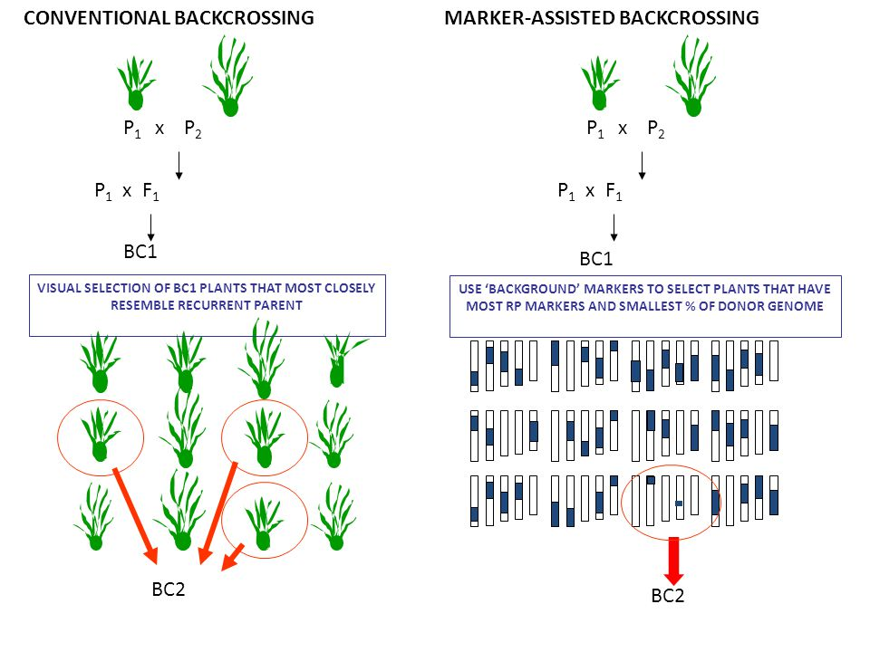 P 1 x F 1 P 1 x P 2 CONVENTIONAL BACKCROSSING BC1 VISUAL SELECTION OF BC1 PLANTS THAT MOST CLOSELY RESEMBLE RECURRENT PARENT BC2 MARKER-ASSISTED BACKC