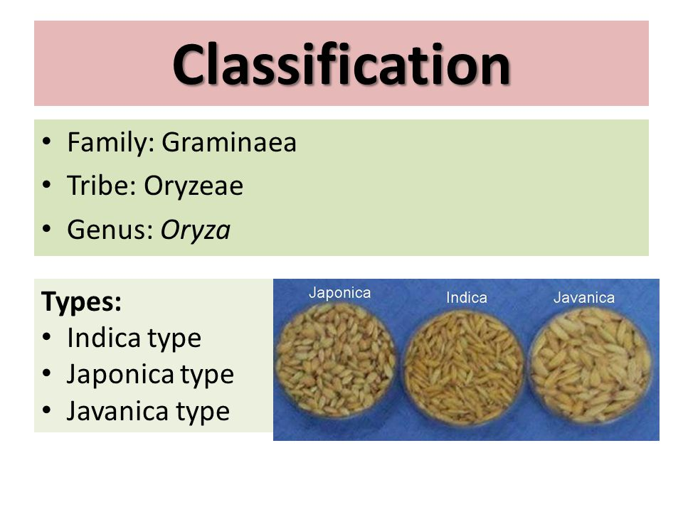 Classification Family: Graminaea Tribe: Oryzeae Genus: Oryza Types: Indica type Japonica type Javanica type