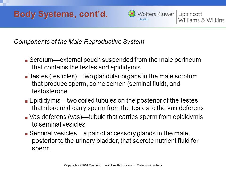 Copyright © 2014 Wolters Kluwer Health | Lippincott Williams & Wilkins Components of the Male Reproductive System ■ Scrotum—external pouch suspended f