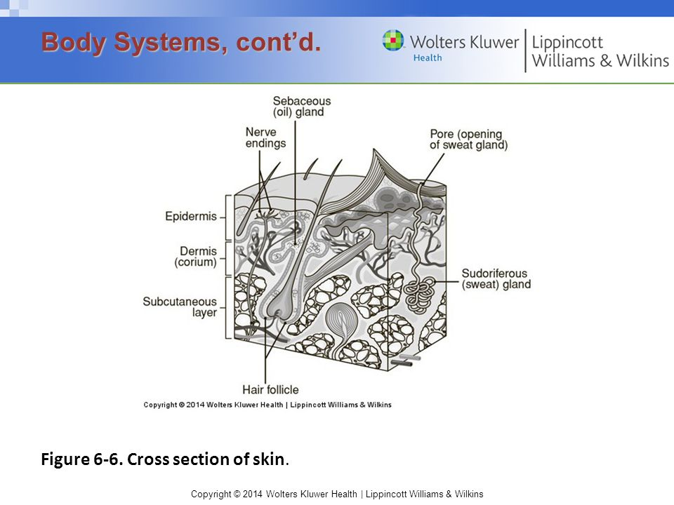 Copyright © 2014 Wolters Kluwer Health | Lippincott Williams & Wilkins Figure 6-6. Cross section of skin. Body Systems, cont'd.