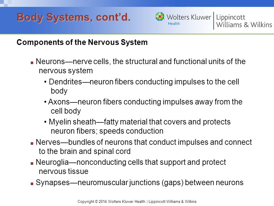 Copyright © 2014 Wolters Kluwer Health | Lippincott Williams & Wilkins Components of the Nervous System ■ Neurons—nerve cells, the structural and functional units of the nervous system Dendrites—neuron fibers conducting impulses to the cell body Axons—neuron fibers conducting impulses away from the cell body Myelin sheath—fatty material that covers and protects neuron fibers; speeds conduction ■ Nerves—bundles of neurons that conduct impulses and connect to the brain and spinal cord ■ Neuroglia—nonconducting cells that support and protect nervous tissue ■ Synapses—neuromuscular junctions (gaps) between neurons Body Systems, cont'd.