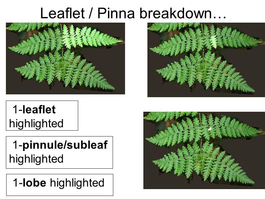 Leaflet / Pinna breakdown… 1-leaflet highlighted 1-pinnule/subleaf highlighted 1-lobe highlighted