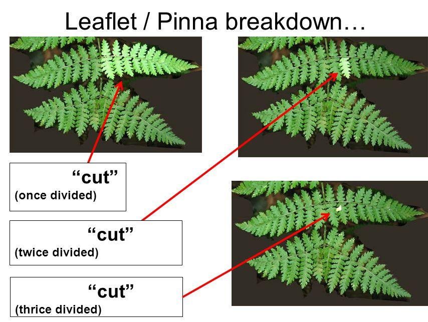 Leaflet / Pinna breakdown… cut (once divided) cut (twice divided) cut (thrice divided)