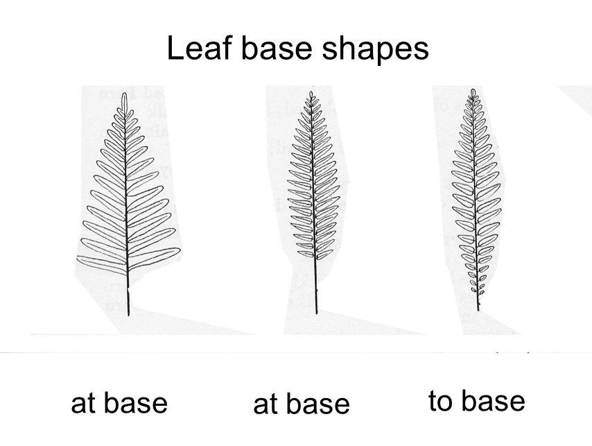 Leaf base shapes at base at base to base