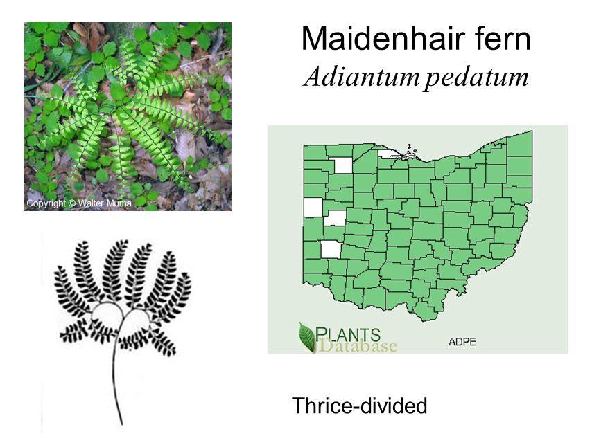 Maidenhair fern Adiantum pedatum Thrice-divided