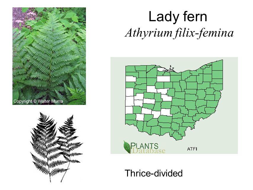Lady fern Athyrium filix-femina Thrice-divided