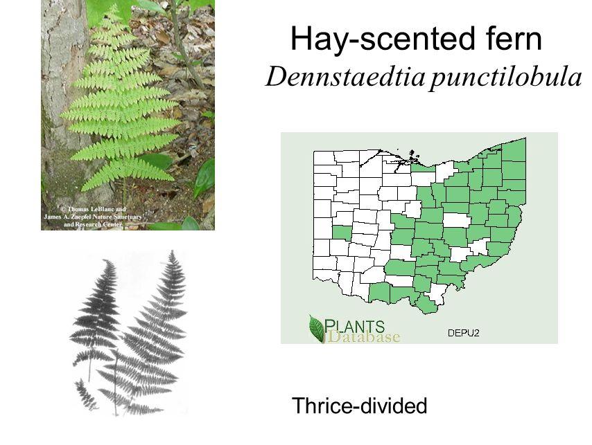 Hay-scented fern Dennstaedtia punctilobula Thrice-divided