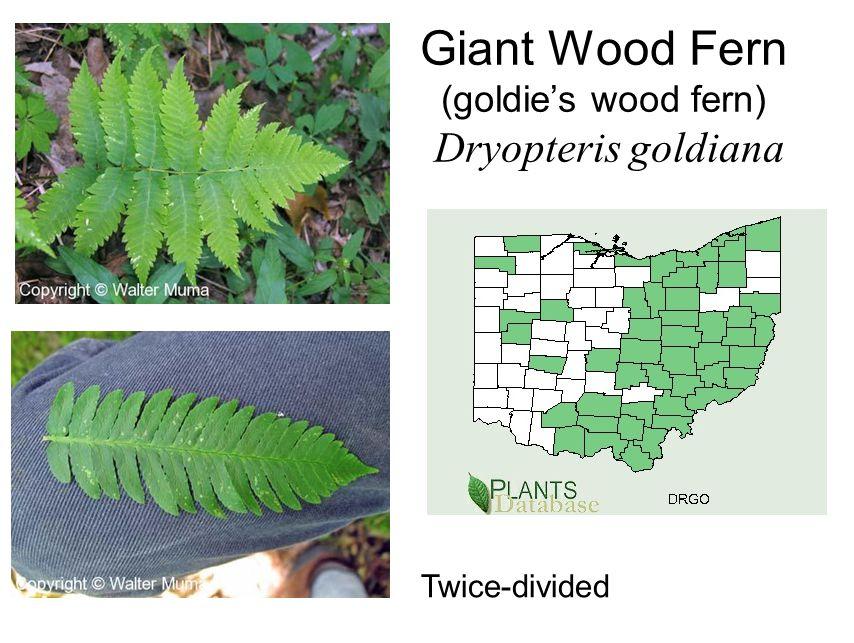 Giant Wood Fern (goldie's wood fern) Dryopteris goldiana Twice-divided