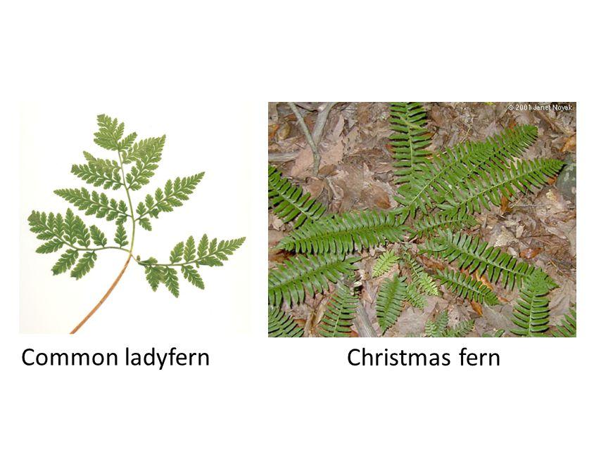 Common ladyfern Christmas fern