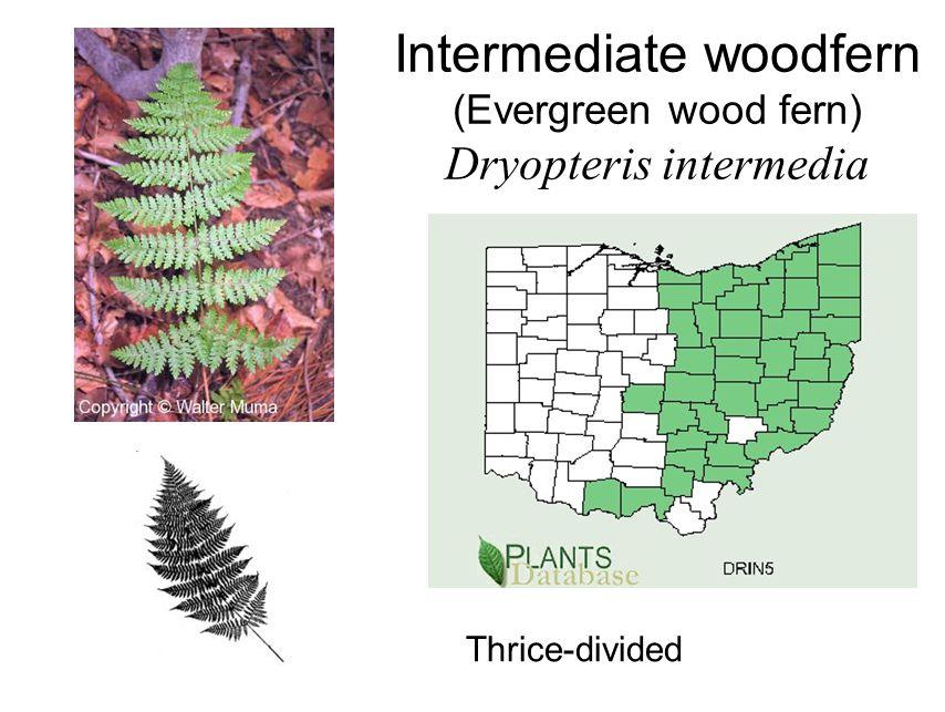Intermediate woodfern (Evergreen wood fern) Dryopteris intermedia Thrice-divided