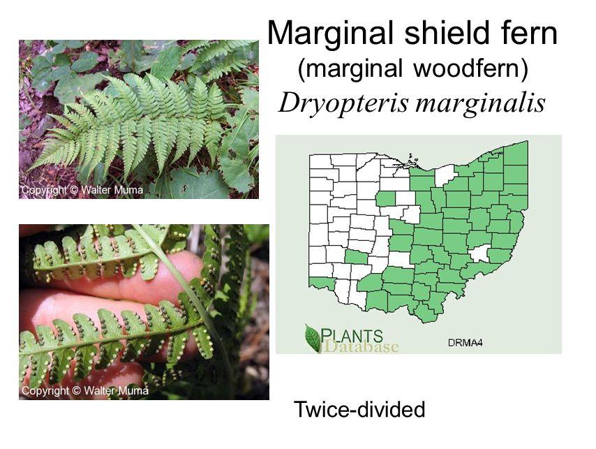 Marginal shield fern (marginal woodfern) Dryopteris marginalis Twice-divided