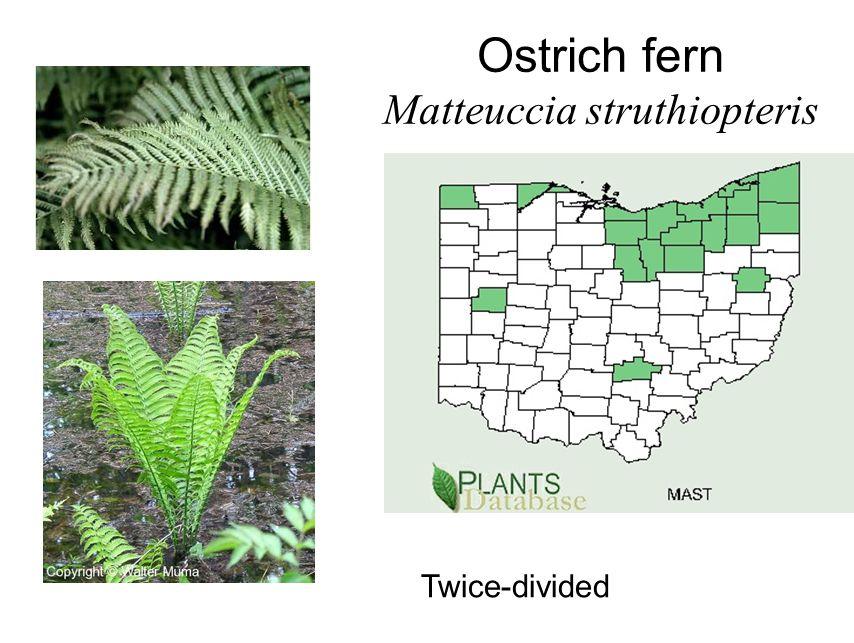 Ostrich fern Matteuccia struthiopteris Twice-divided