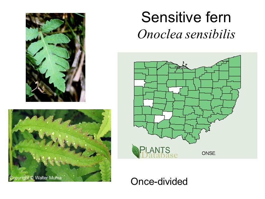 Sensitive fern Onoclea sensibilis Once-divided
