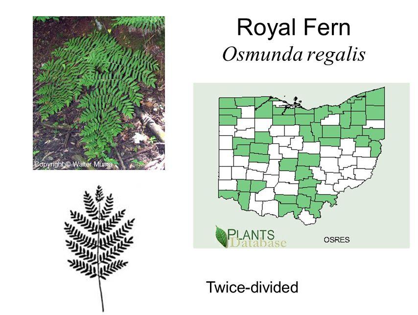 Royal Fern Osmunda regalis Twice-divided