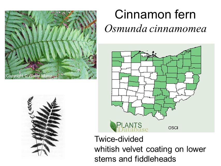 Cinnamon fern Osmunda cinnamomea Twice-divided whitish velvet coating on lower stems and fiddleheads