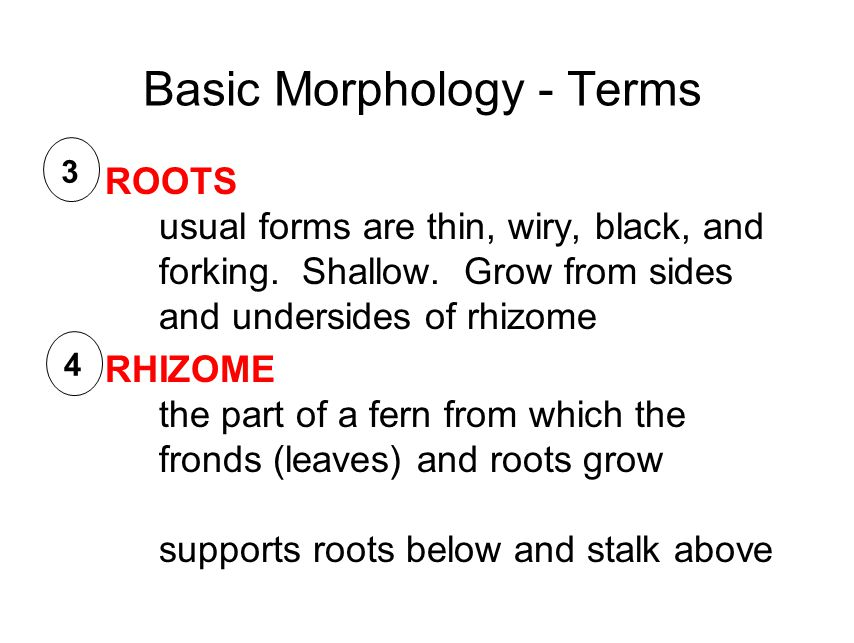 Basic Morphology - Terms ROOTS usual forms are thin, wiry, black, and forking.