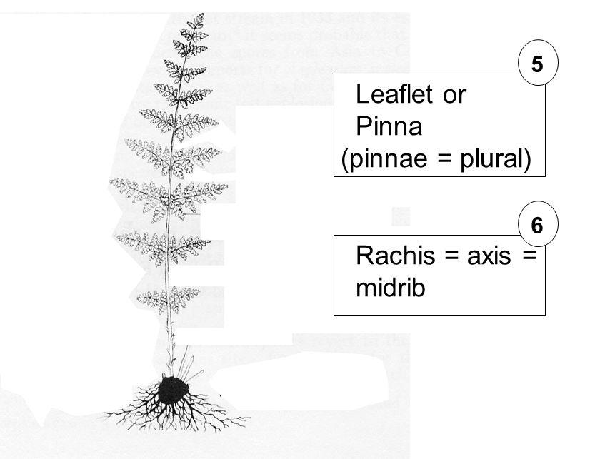 Leaflet or Pinna (pinnae = plural) 5 Rachis = axis = midrib 6