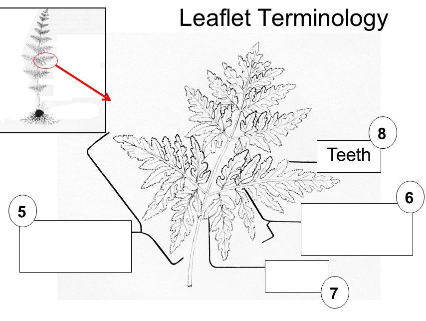 5 6 7 Leaflet Terminology Teeth 8