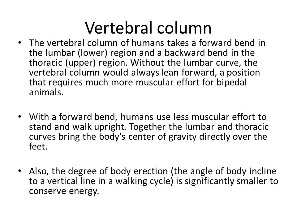 Vertebral column The vertebral column of humans takes a forward bend in the lumbar (lower) region and a backward bend in the thoracic (upper) region.