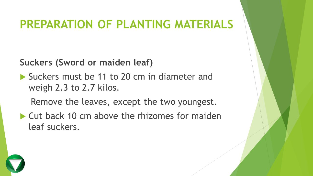 PREPARATION OF PLANTING MATERIALS Suckers (Sword or maiden leaf)  Suckers must be 11 to 20 cm in diameter and weigh 2.3 to 2.7 kilos.
