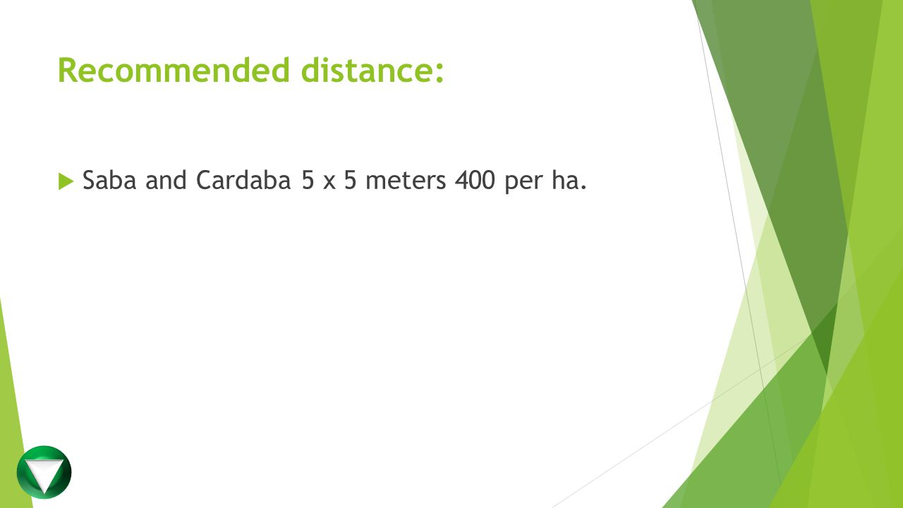 Recommended distance:  Saba and Cardaba 5 x 5 meters 400 per ha.