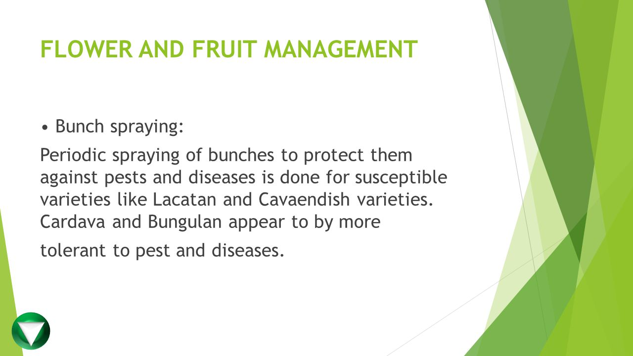 FLOWER AND FRUIT MANAGEMENT Bunch spraying: Periodic spraying of bunches to protect them against pests and diseases is done for susceptible varieties like Lacatan and Cavaendish varieties.